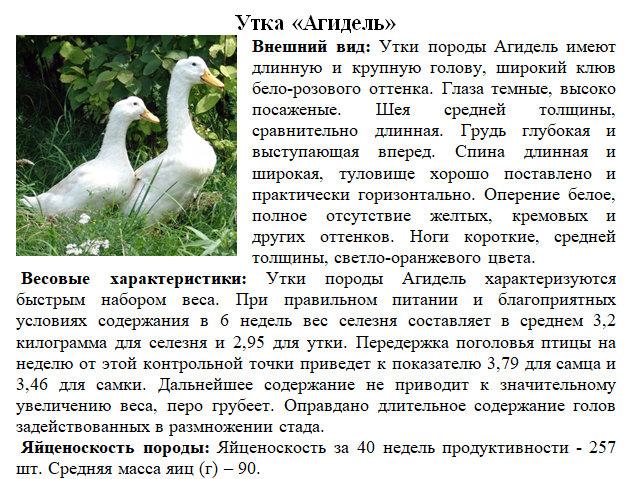 Утка агидель (16 фото): описание породы, достоинства и недостатки, характеристика утят и выращивание в домашних условиях, отзывы