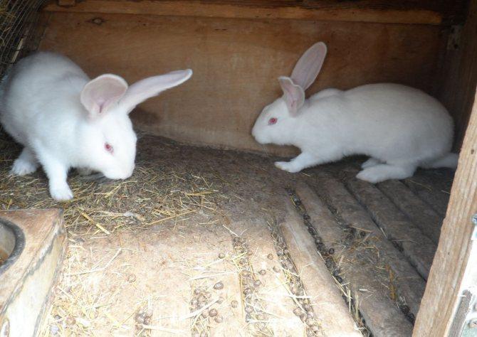 Кролики фландр: описание породы, фото, характеристика, отзывы