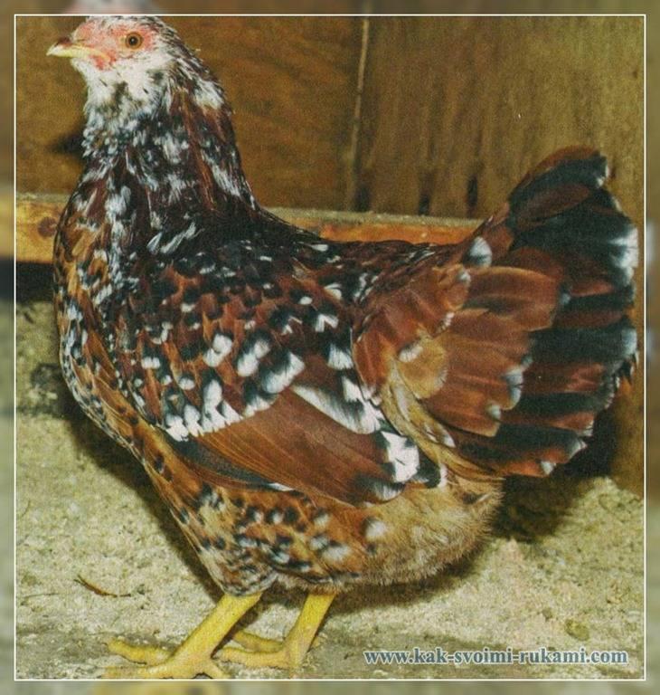 Порода кур амрокс (29 фото): описание и выращивание цыплят, отзывы