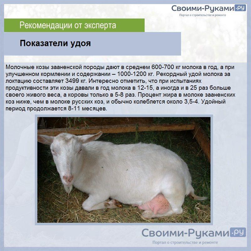 Зааненские козы – описание породы