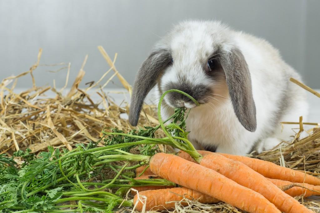 Роды крольчихи: как рожают, чем кормить после окрола, чтобы было молоко, уход за крольчатами