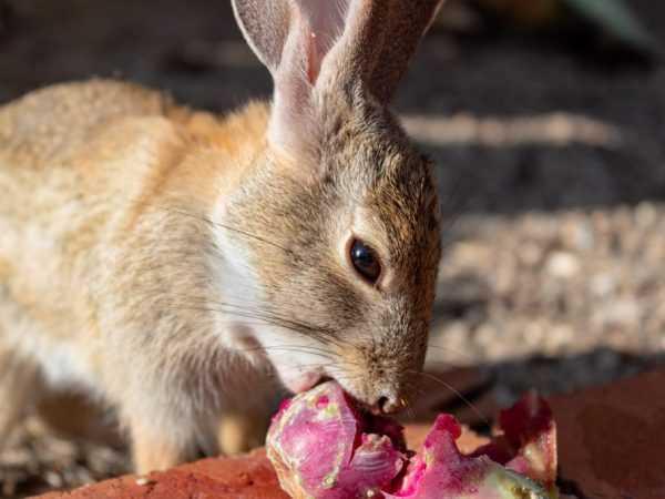 Можно ли давать кроликам лебеду: все за и против