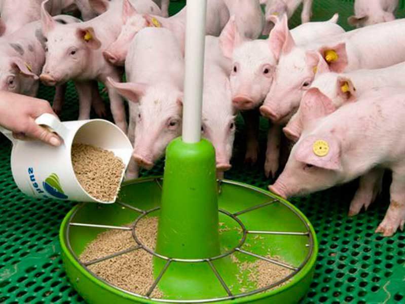 Всё о разведении свиней. выращивание, кормление в домашних условиях. чем кормить с фото и видео