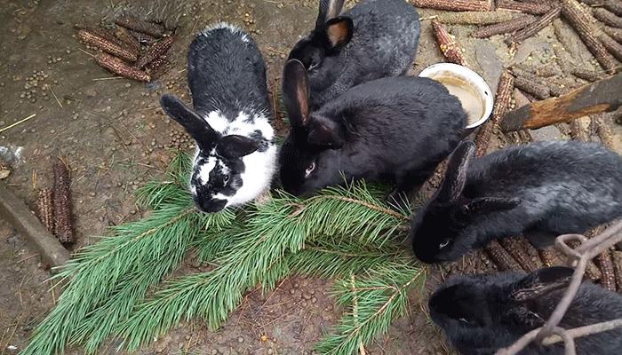 Какие ветки можно давать кроликам как их заготавливать