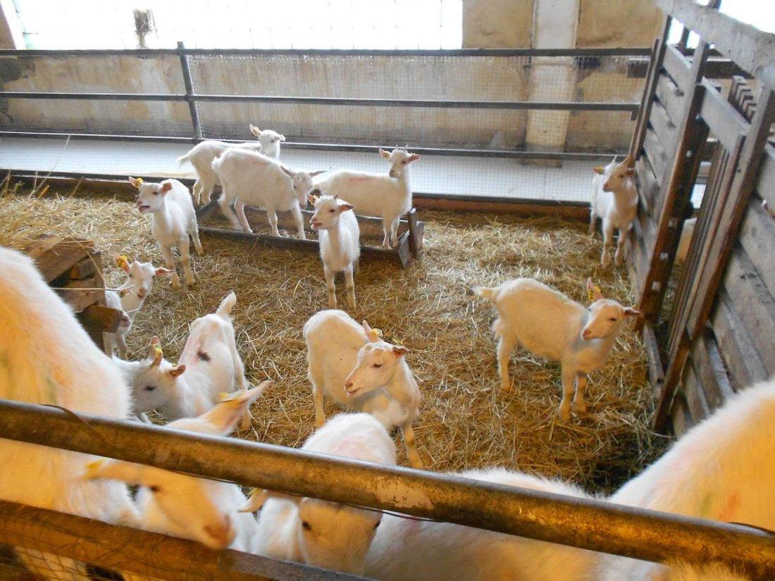Разведение коз — бизнес-план, старт бизнеса, расчет рентабельности, особенности ухода и содержания в домашних условиях