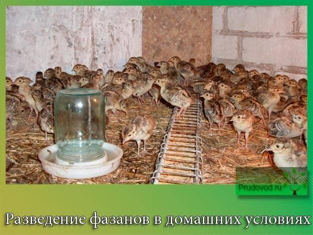 Выращивание фазанов в небольших масштабах – практика необычная, но прибыльная — agroxxi