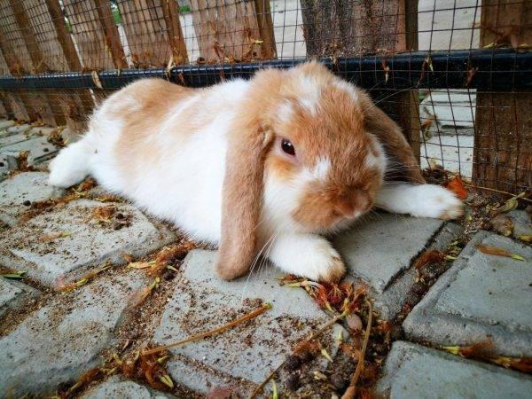 У кролика отказали задние лапы: что делать, возможные причины