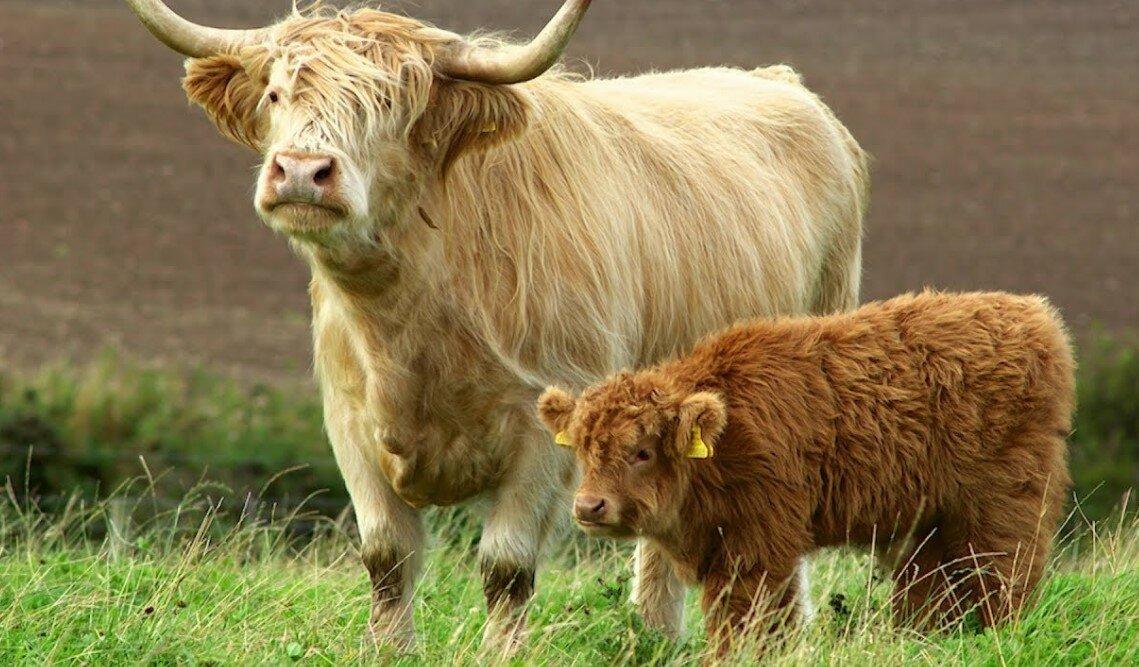 О мини коровах: породы маленьких, карликовых, декоративных, миниатюрных коров