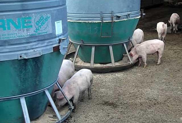 Кормушка для свиней своими руками, что необходимо знать чтобы сделать ее