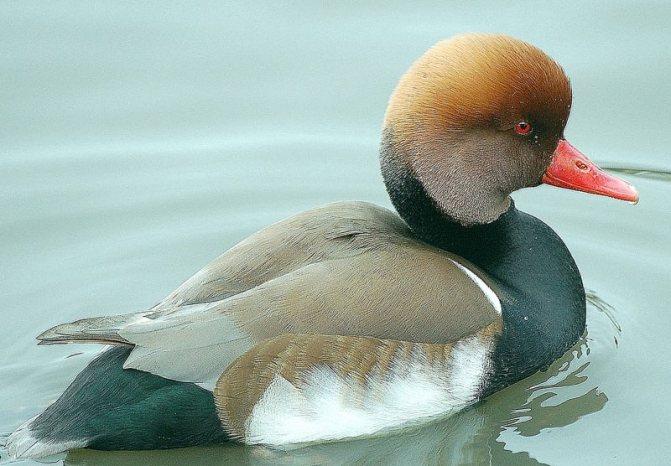 Нырковые утки: обзор, описание и виды