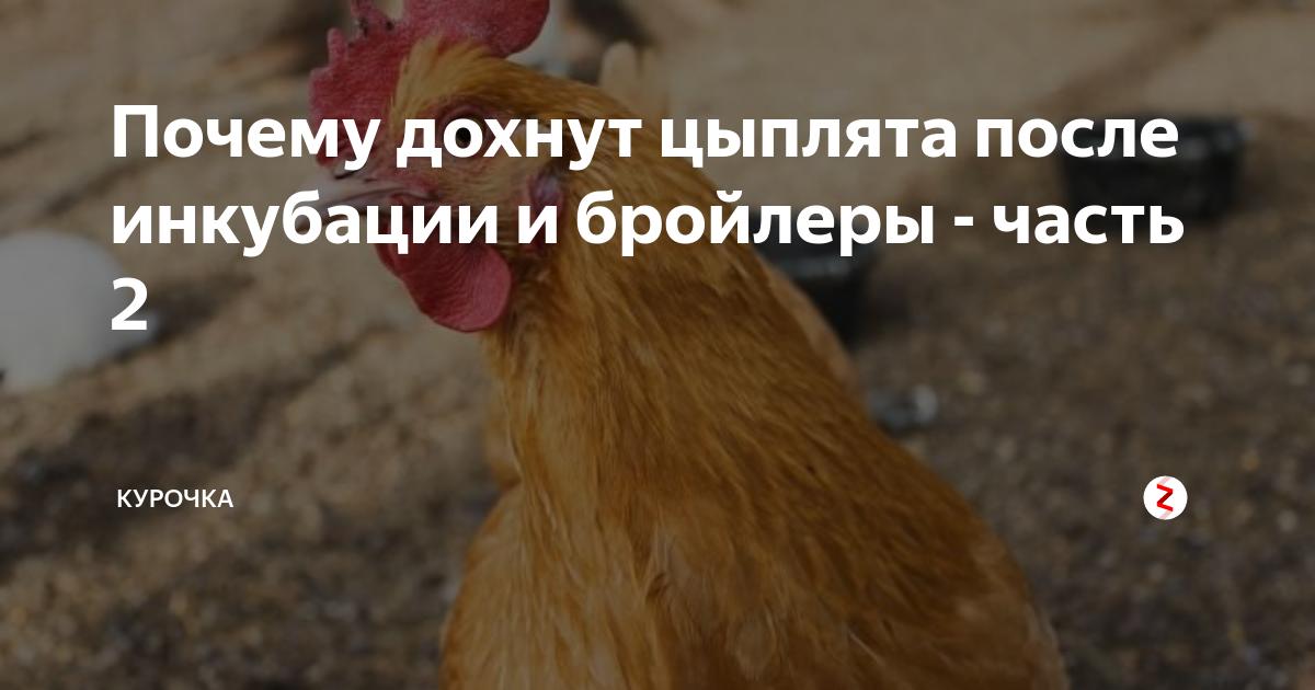 Как вылечить чиханье, хрип, кашель у кур и цыплят