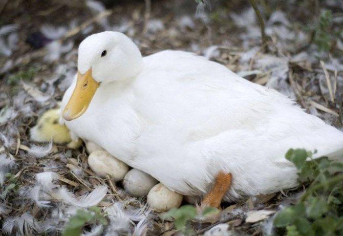 Сколько дней сидит индоутка на яйцах: как долго их высиживает и когда начинает нестись