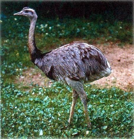 Американский страус нанду: его фото и видео обзор