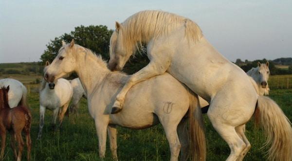 ᐉ как происходит спаривание лошадей: методы случки - zooon.ru