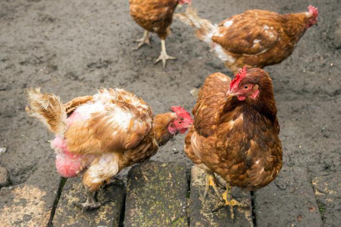 Почему цыплята бройлеры клюют друг друга до крови: что делать