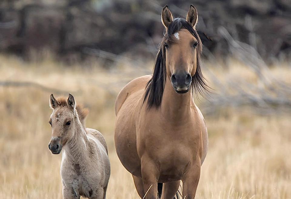 ✅ о лошади породы мустанг: дикий конь, история, описание, характеристики - tehnomir32.ru