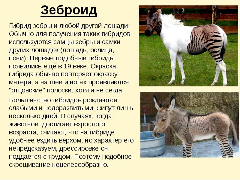 17 животных гибридов, которые, на самом деле, существуют