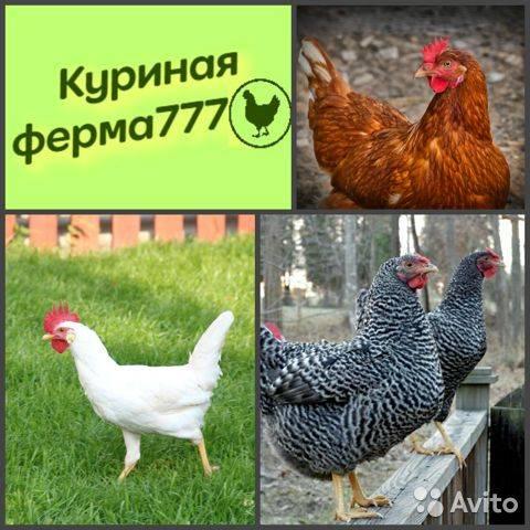 Пушкинские куры: особенности породы, порядок содержания и разведения - подробно!