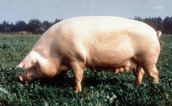 Мясные породы свиней: описание и особенности разведения