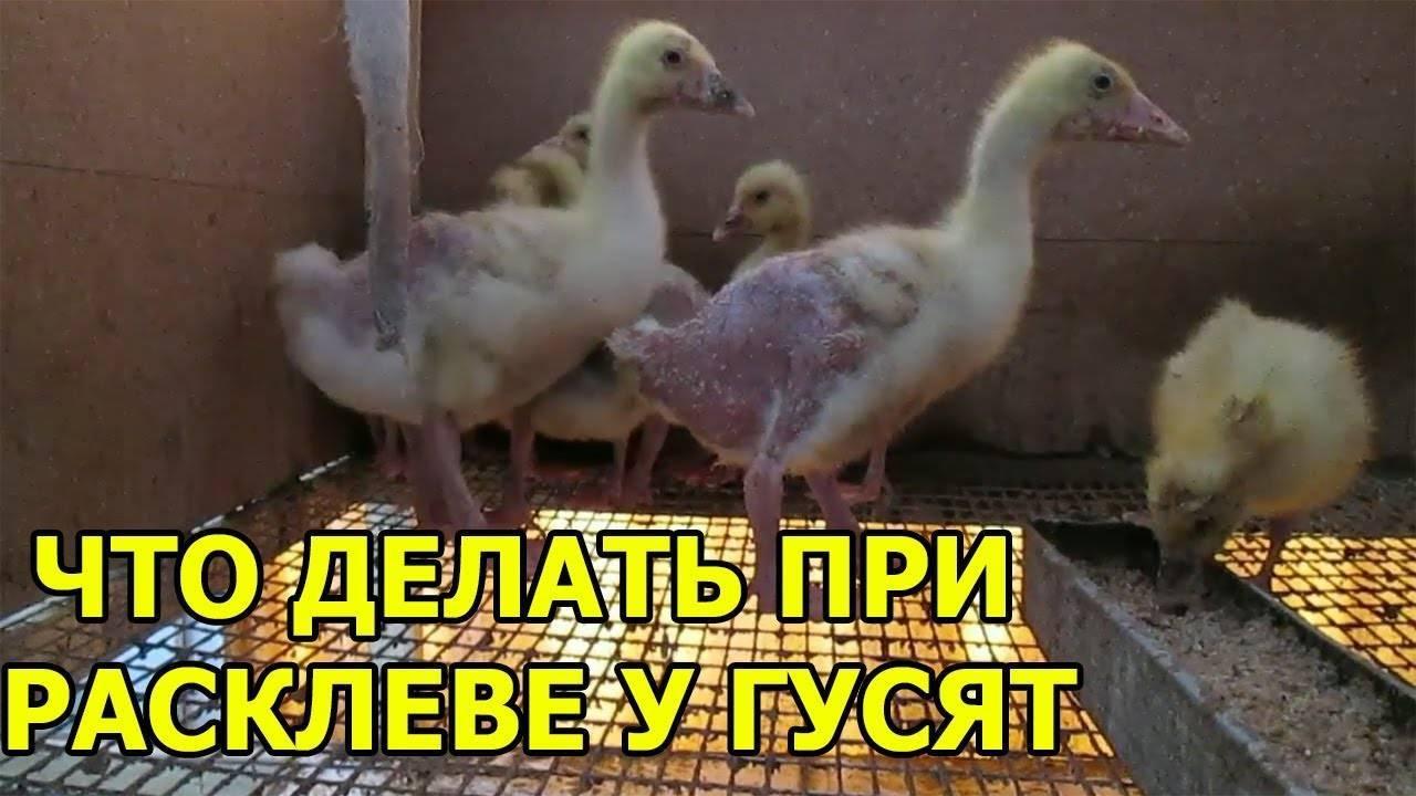 Причины, по которым гуси щипают друг друга - jurnalagronoma
