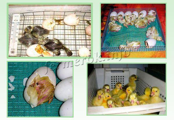 Разведение гусей в домашних условиях: подробно для начинающих