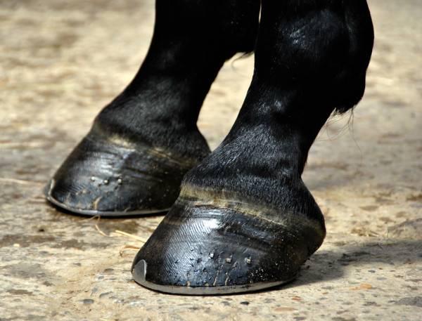 ᐉ копыто лошади: особенности строения, форма и размер - zooon.ru