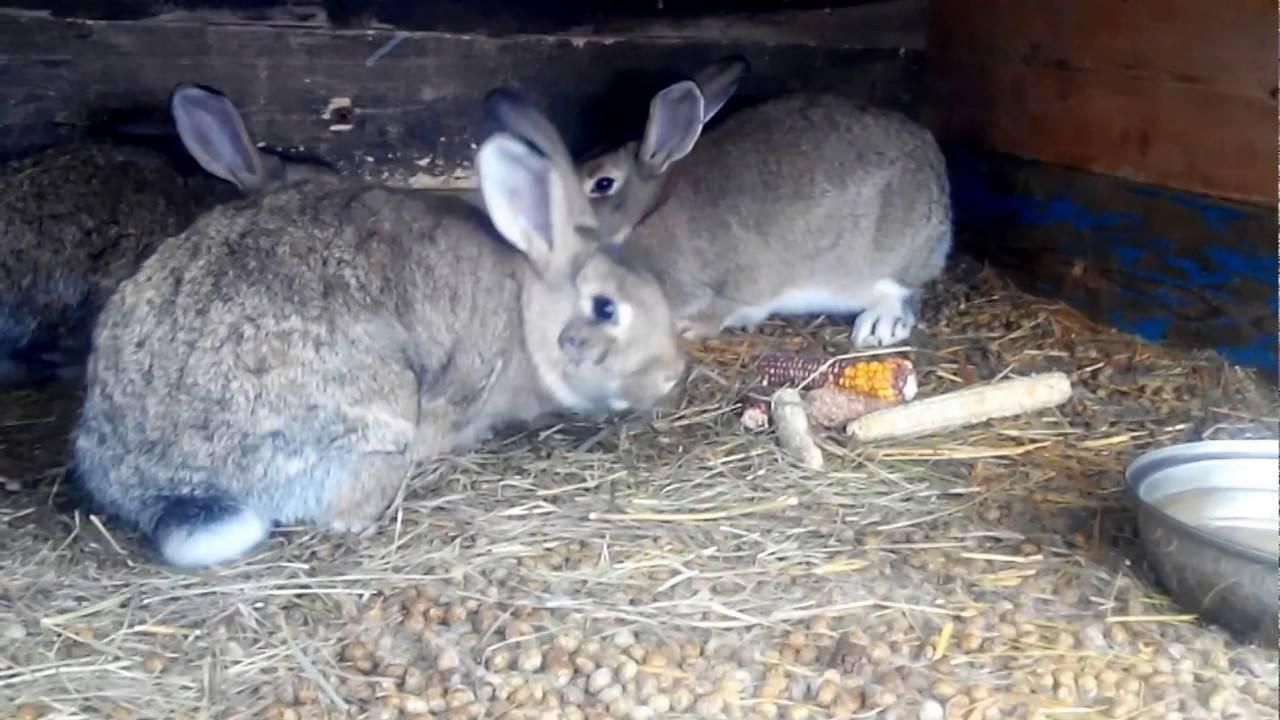 Содержание кроликов зимой на улице: разведение и окрол в теплице, кормление