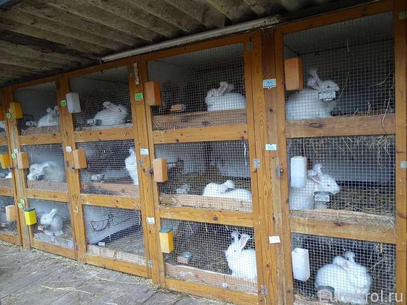 Разведение кроликов в домашних условиях для начинающих: уход, питание, размножение