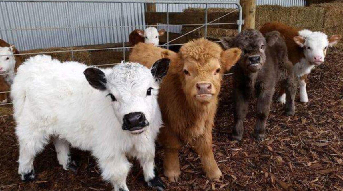 Плюшевая корова: особенности породы и содержания