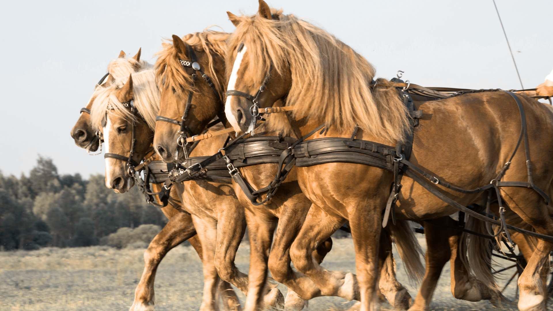 Названия и краткое описание пород лошадей тяжеловозов, фото владимирской породы