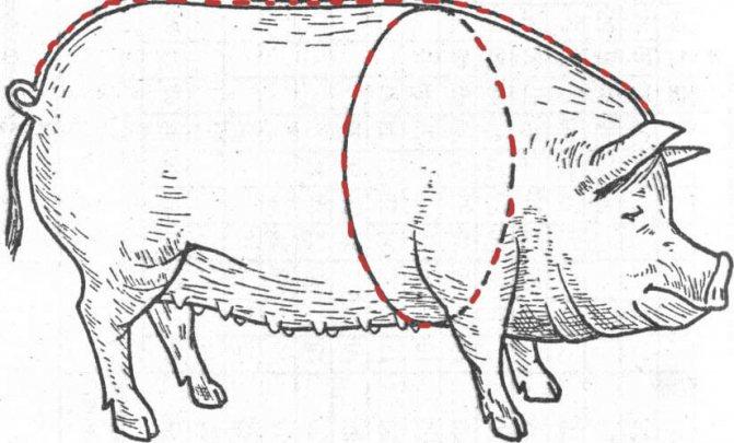 Сколько весит взрослый поросенок. как определить сколько весит свинья: контроль массы по месяцам