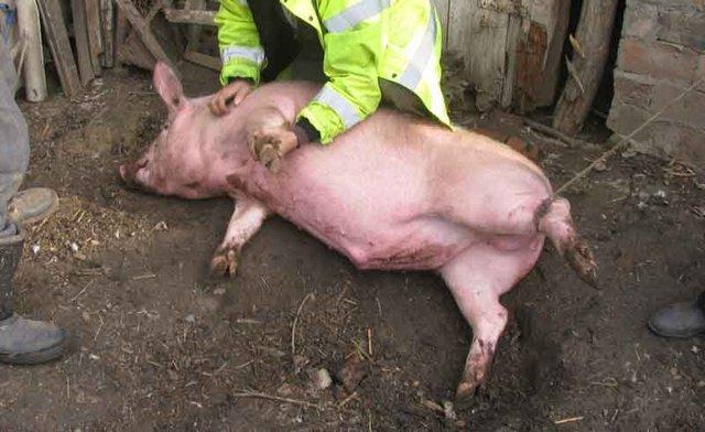 Забой свиней, убой свиней, как забить свинью (фото и видео)