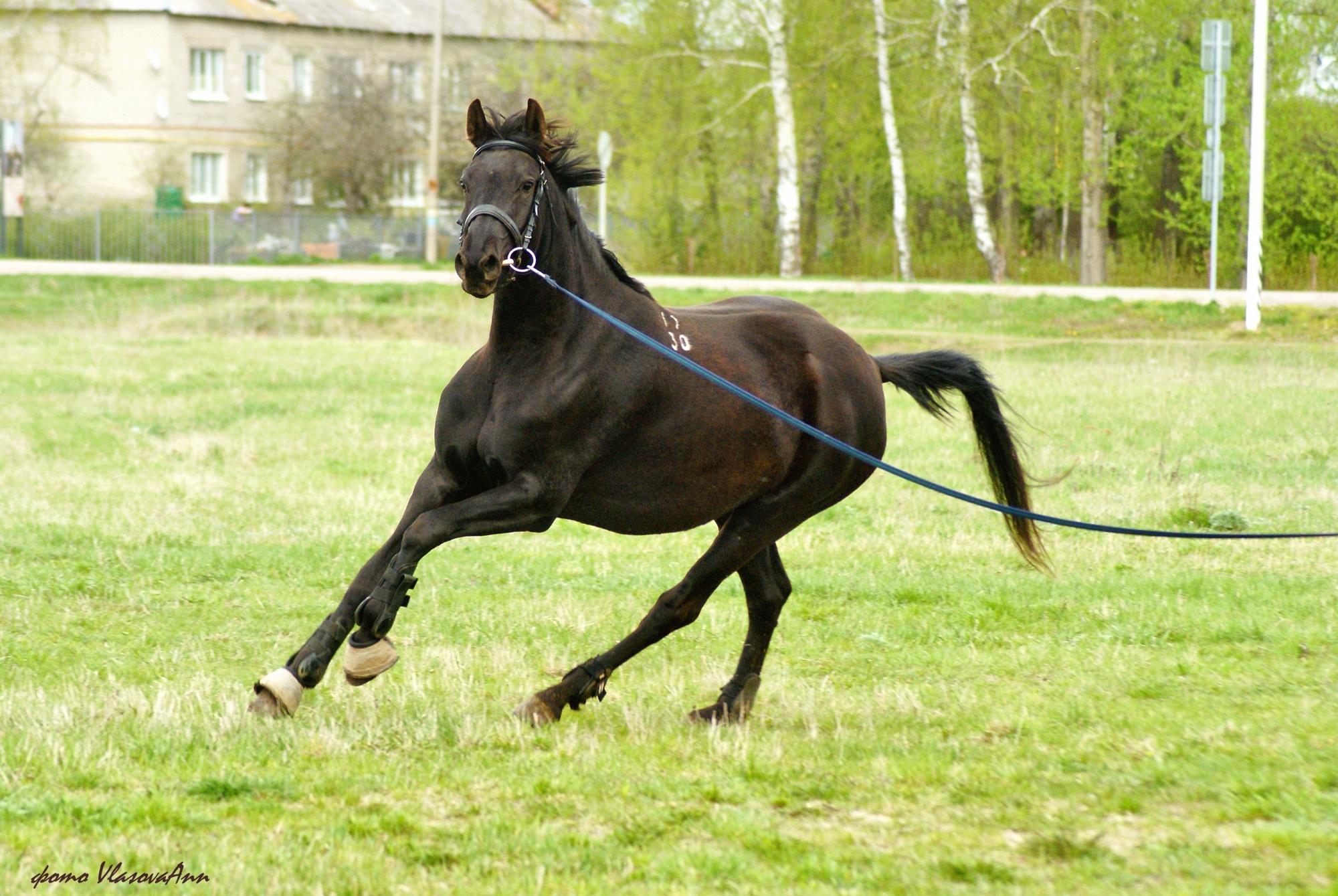 Русская верховая порода лошадей: фото и видео, характеристики, история, описание
