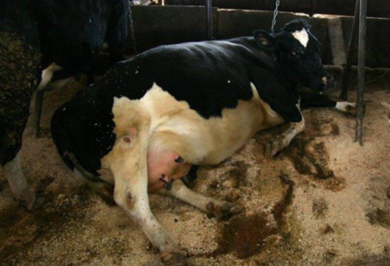 У коровы кровянистые выделения после осеменения - лучший огород