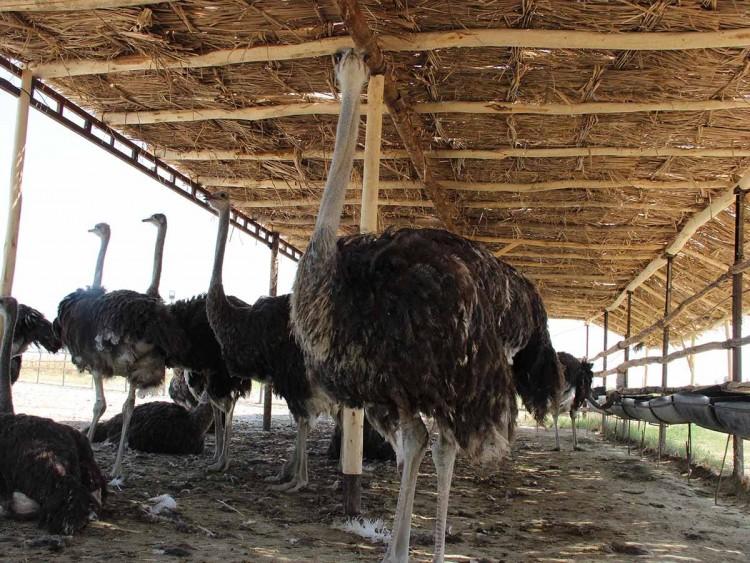 Разведение страусов для начинающих