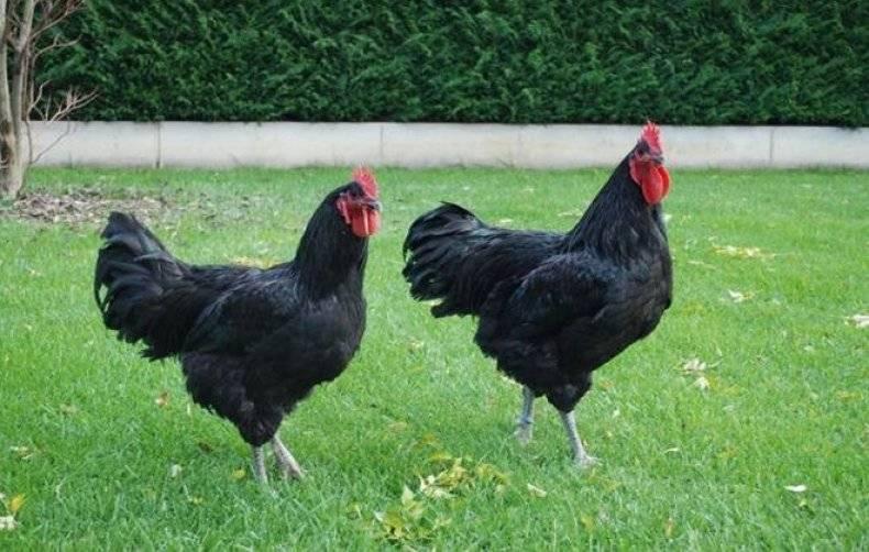 Выращивание цыплят породы джерсийский гигант в домашнем подворье