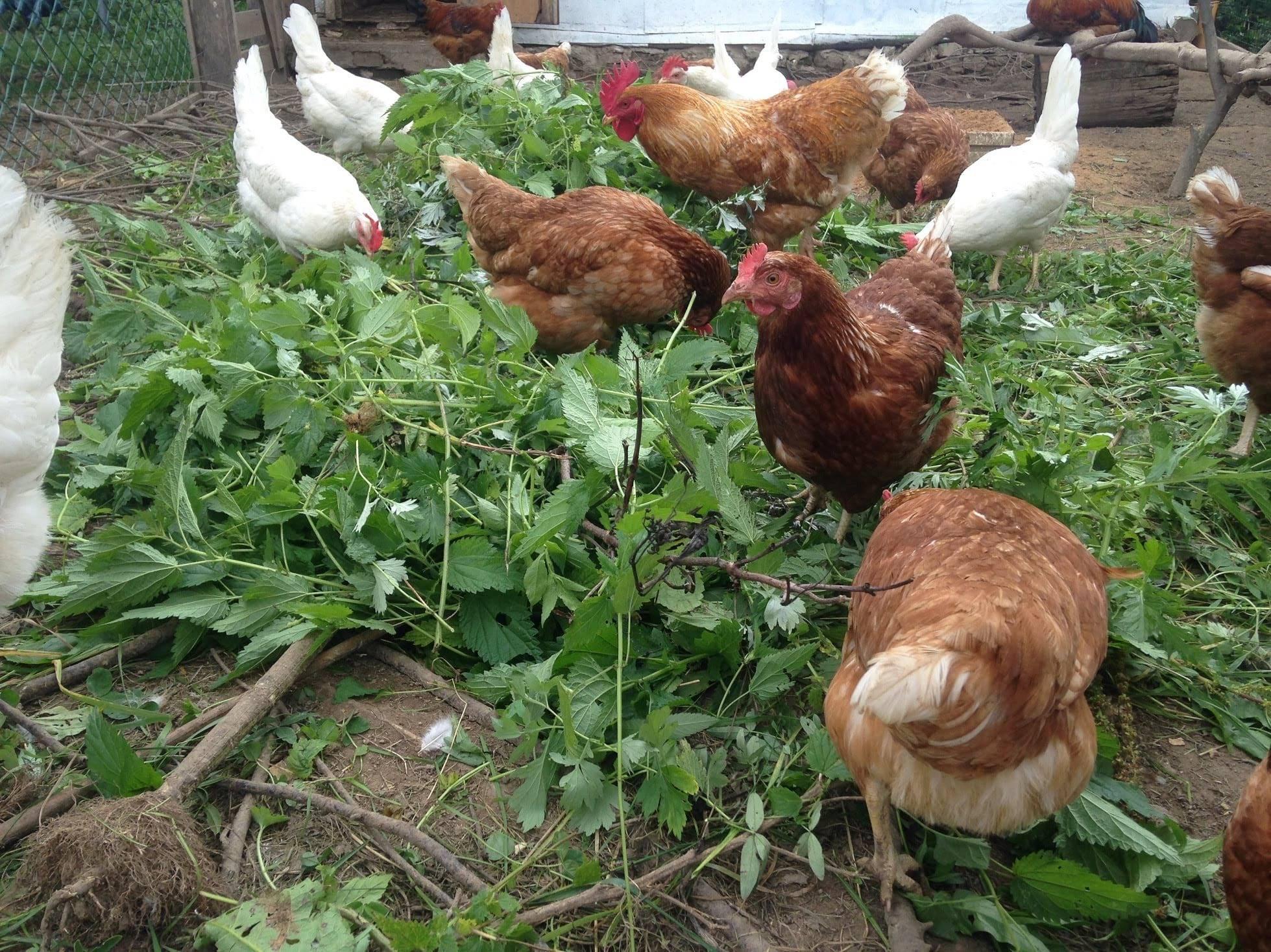 При какой температуре можно выпускать кур, в каком возрасте цыплят переводят в курятник?