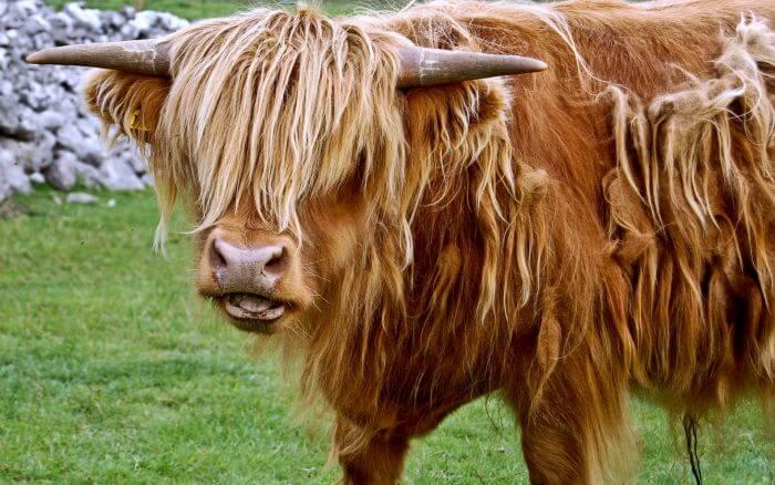 Плюшевая корова из айовы: происхождение и особенности породы