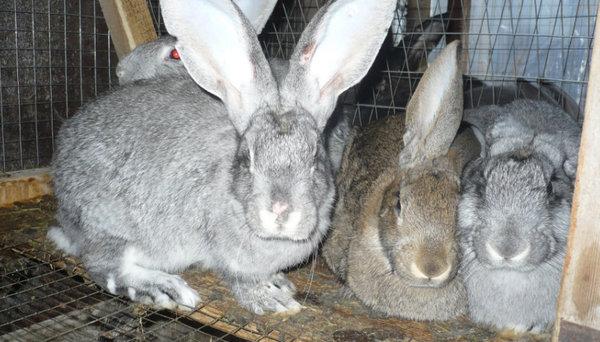 Паралич задних лап у кролика - у кролика отказали задние лапы причины