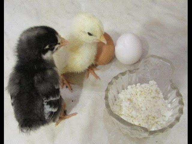 Когда цыплятам давать песок. песок цыплятам с какого возраста