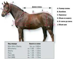 Вес лошади (нормальный, средний, максимальный): взрослой, скаковой, тяжеловоза, как узнать и определить, вес наездника, рост, измерение по таблице