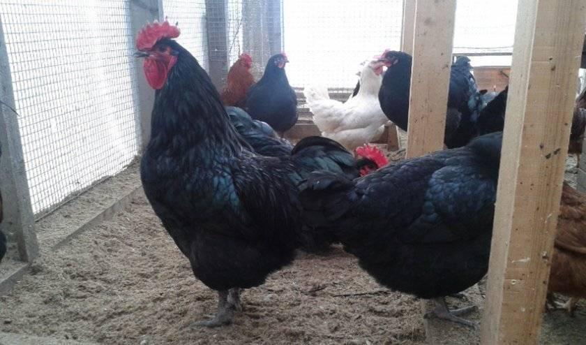 Порода кур австралорп (32 фото): описание черно-пестрой разновидности, содержание цыплят, отзывы