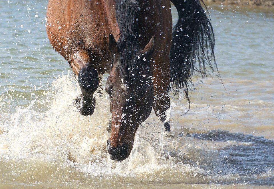 Лошади плавают: умеют или нет