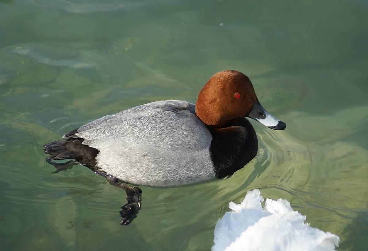 Об утке нырок: розовоголовые и красноголовые нырковые утки, их особенности