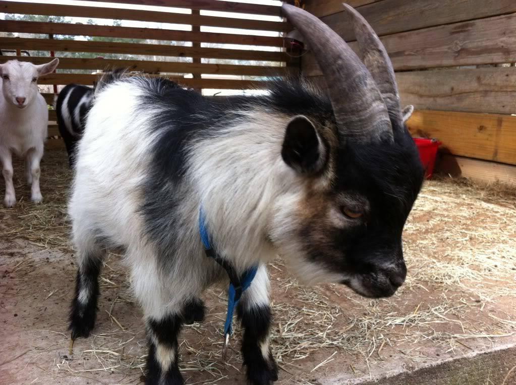 Какие бывают пуховые породы коз? описание, названия и отзывы