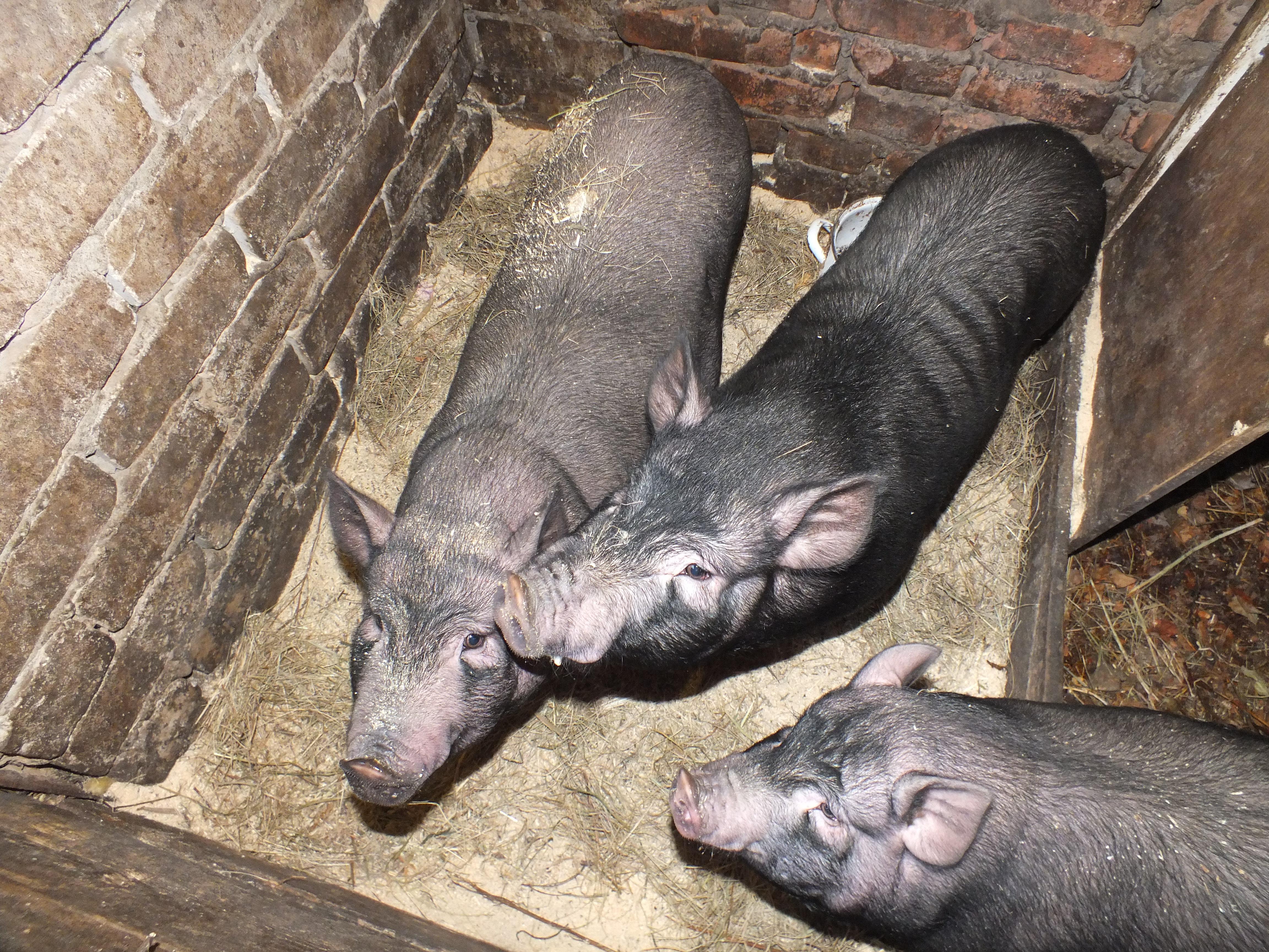 Свинья (79 фото): описание поросят и домашних свиней, их разведение в домашних условиях для начинающих