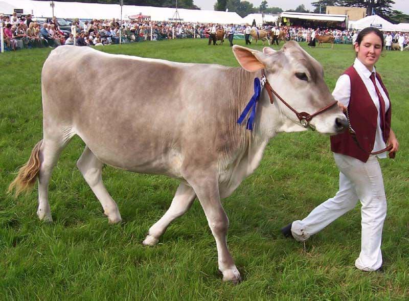 Швицкая порода коров: характеристика, плюсы и минусы бурых телят, описание крс