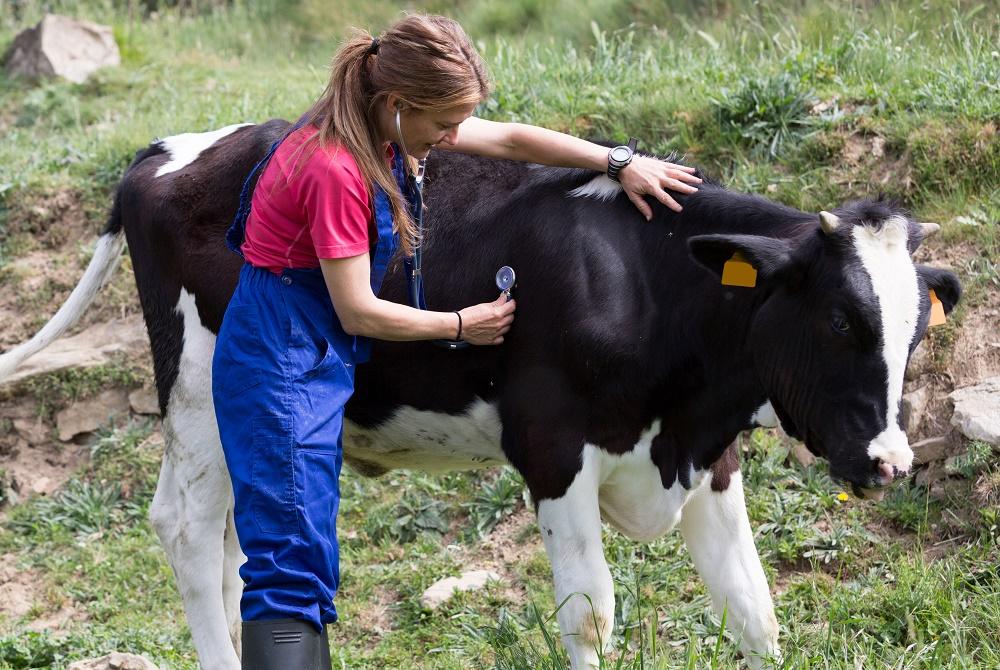 Кетоз крупного рогатого скота