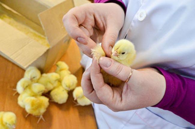 Как отличить курочку от петушка и определить пол цыпленка