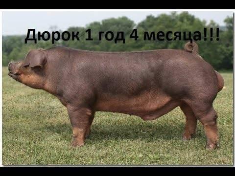 Дюрок порода свиней: характеристика
